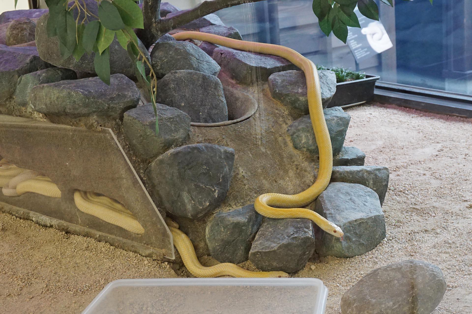 岩国シロヘビの館シロヘビの生体展示