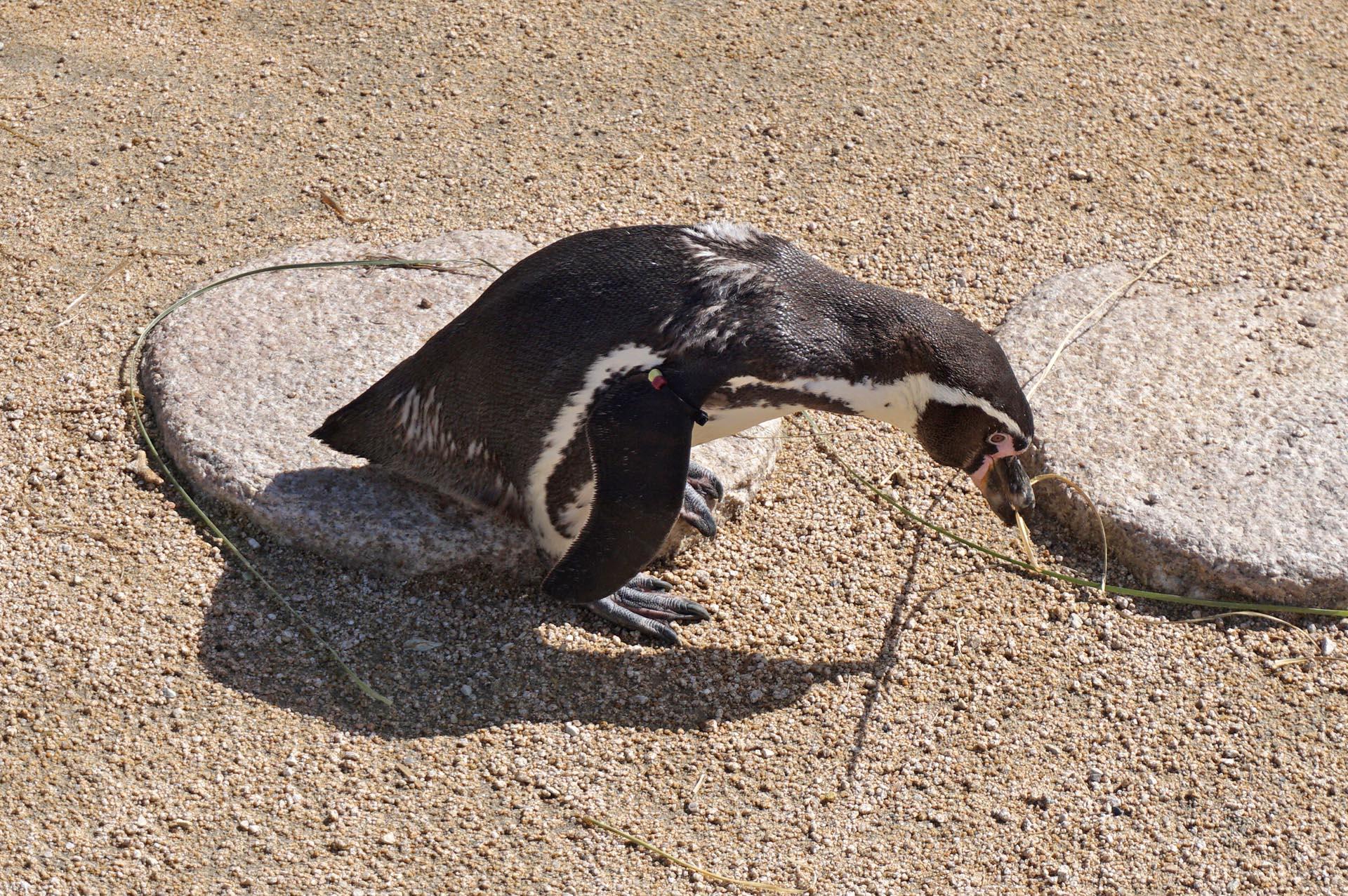 海響館のペンギン