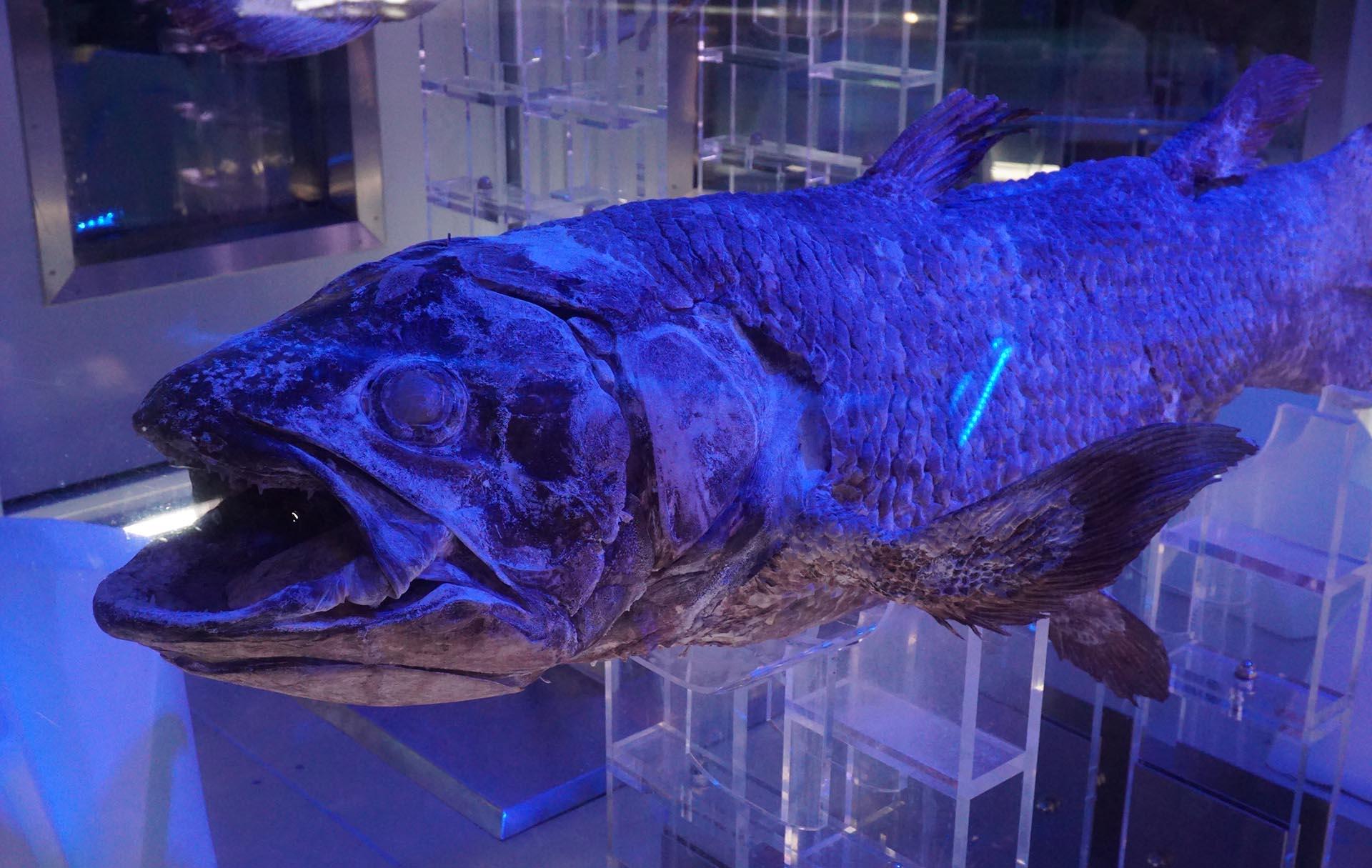 沼津港深海水族館の冷凍保存のシーラカンス