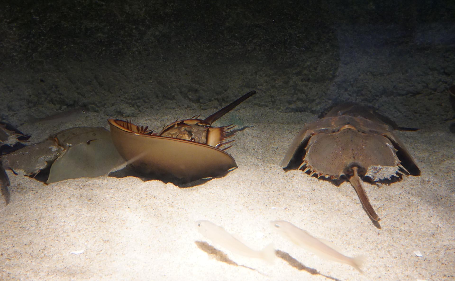 宮島水族館のカブトガニ