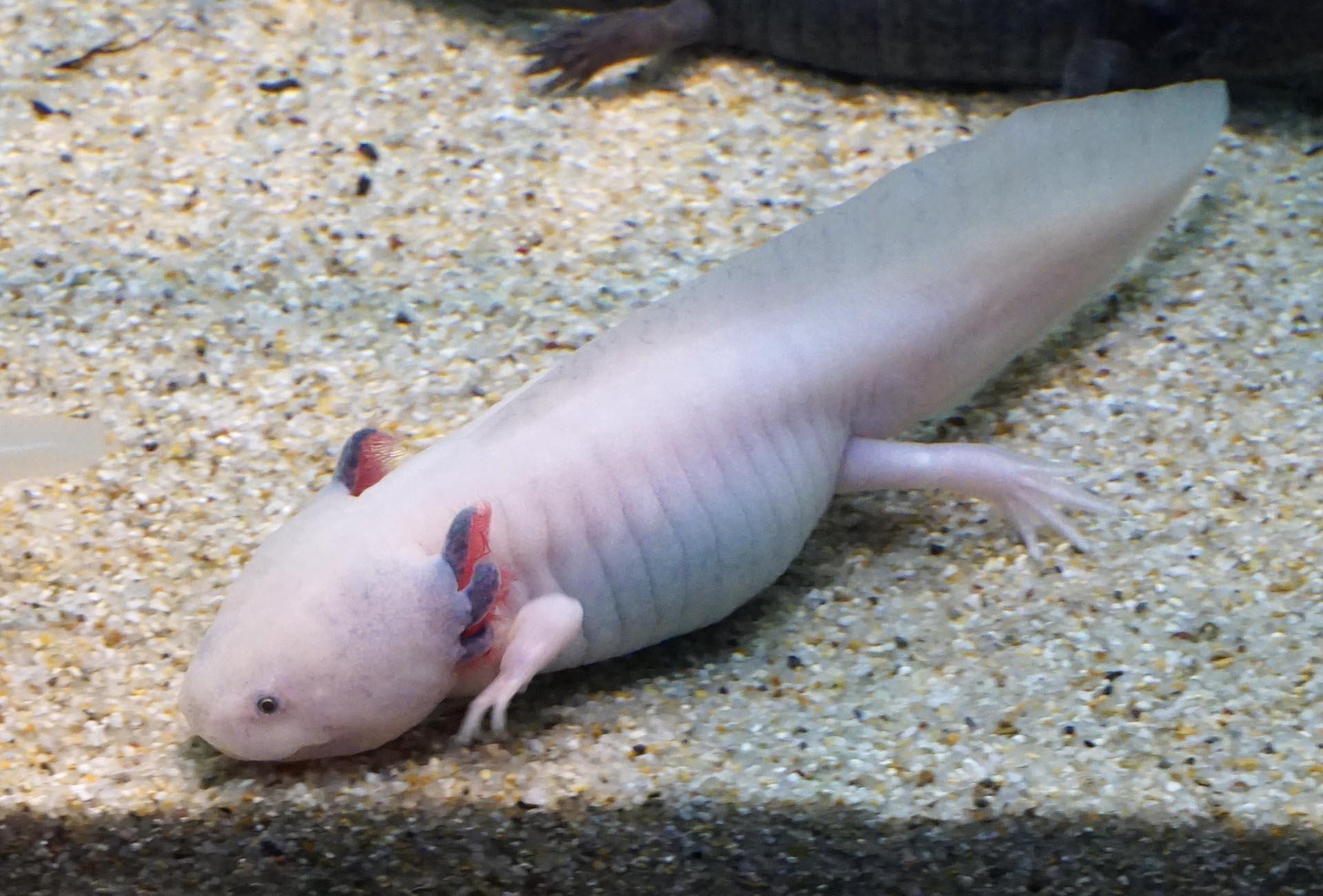 宮島水族館のウーパールーパー