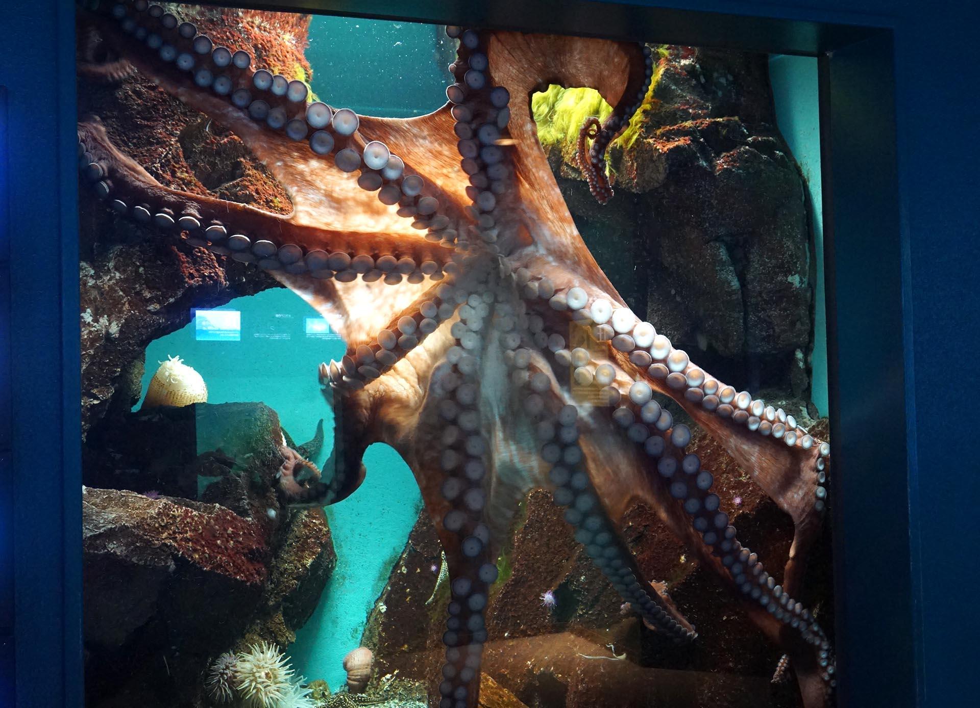 宮島水族館のタコ