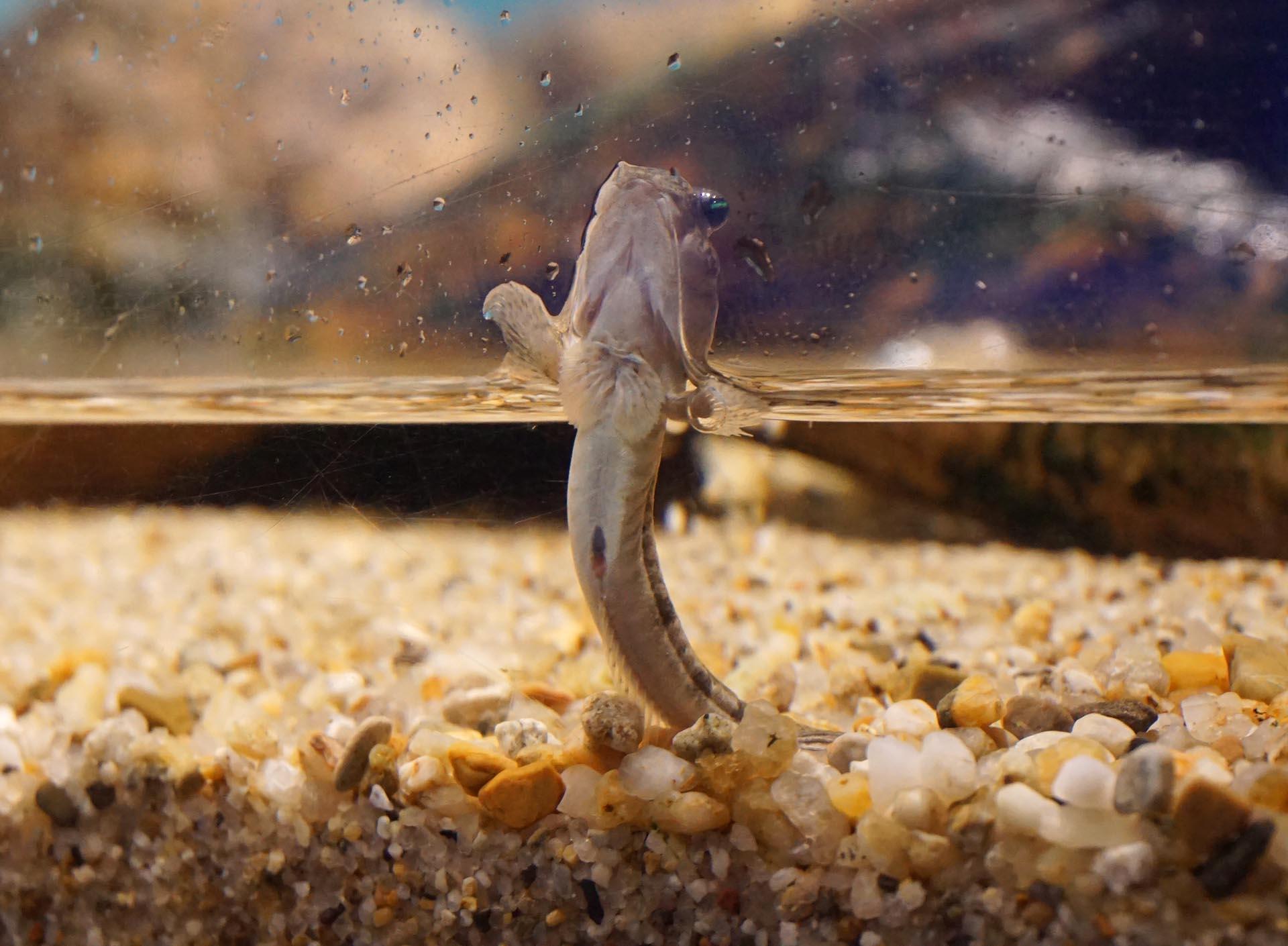 宮島水族館のトビハゼ