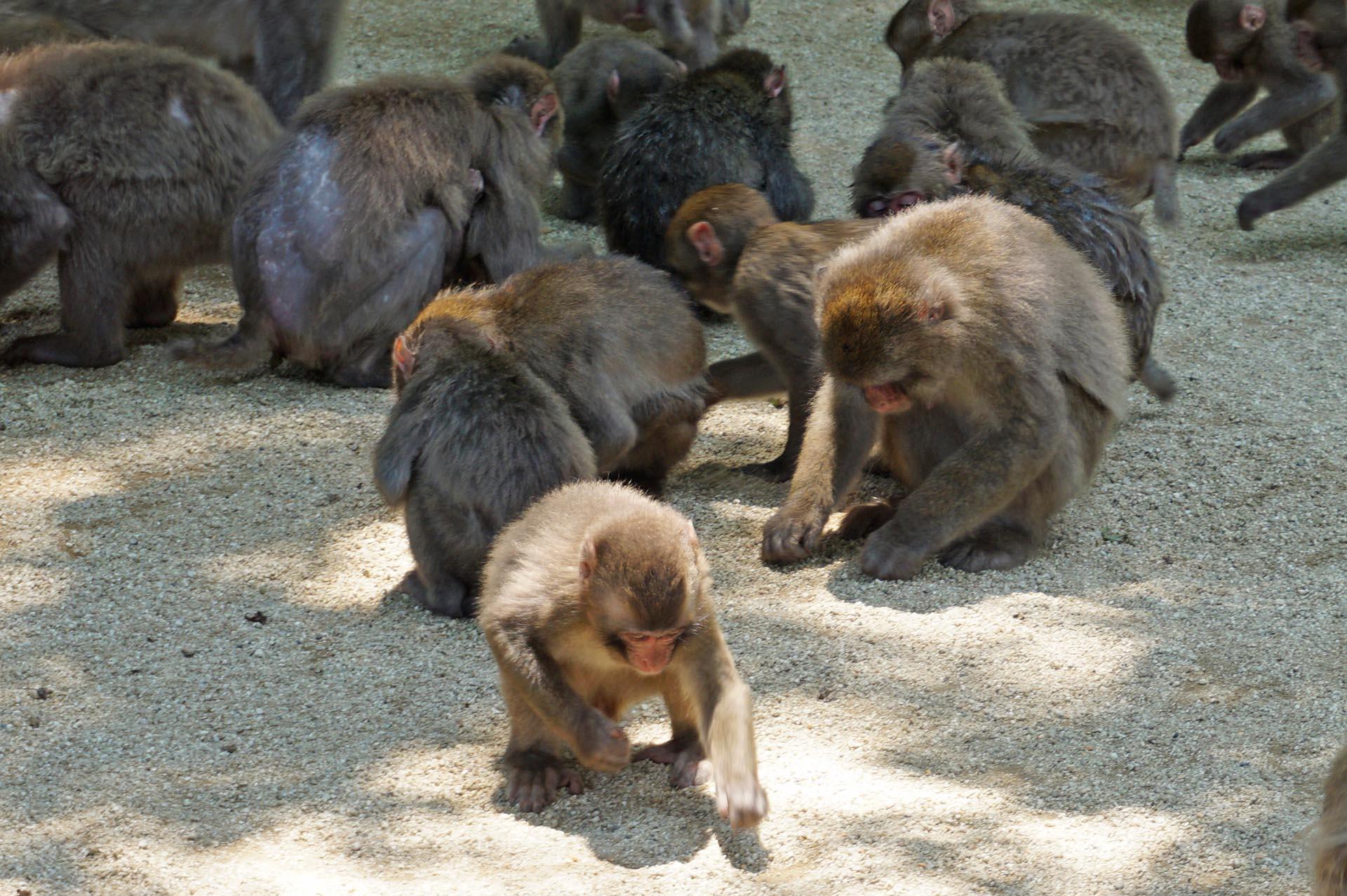 高崎山自然動物園のエサやり
